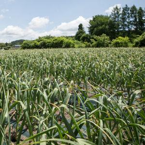 にんにく栽培 植え付け時期から収穫まで