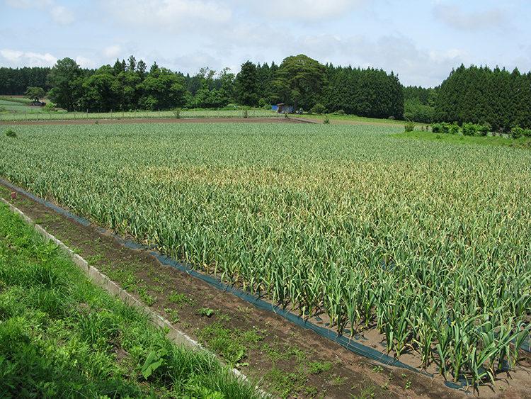 にんにくの栽培方法と育て方のコツ 葉枯病の特徴・対処法