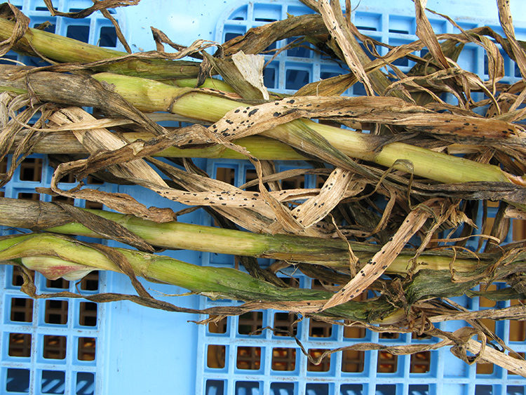 にんにくの栽培方法と育て方のコツ 白斑葉枯病の特徴・対処法