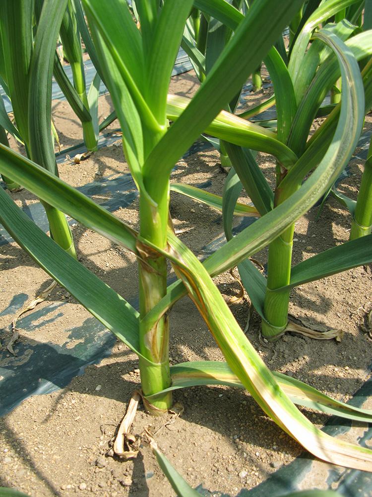 にんにくの栽培方法と育て方のコツ  春腐病の特徴・対処法