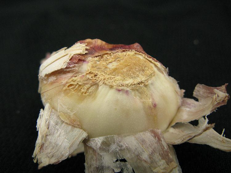 にんにく害虫 イモグサレセンチュウの特徴・対処法