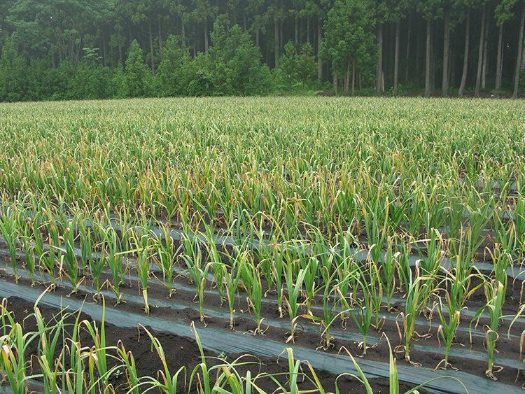 にんにくの栽培方法と育て方のコツ 紅色根腐病の特徴・対処法