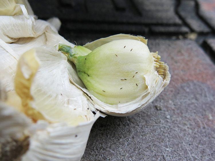 にんにく害虫 ネギアザミウマへの特徴・対処法