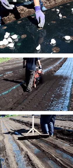 にんにくの植え付け&土かけ